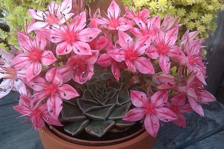 Tacitus bellus facil de cultivar suculenta originaria de - Plantas de interior con flor ...
