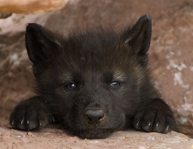 Did you know? Black wolves don't occur naturally. A 2008 study at Stanford University found that the mutation responsible for black fur occurs only in dogs, so black wolves are the result of gray wolves breeding back with domestic canines.