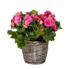 Begonia in Basket   Woolworths.co.za
