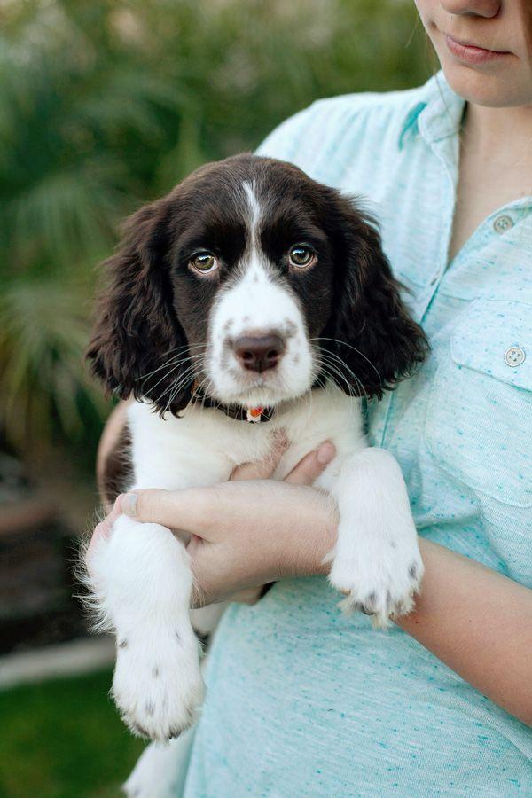 Puppy Knowledge Springer Spaniel Puppies Springer Dog Puppies