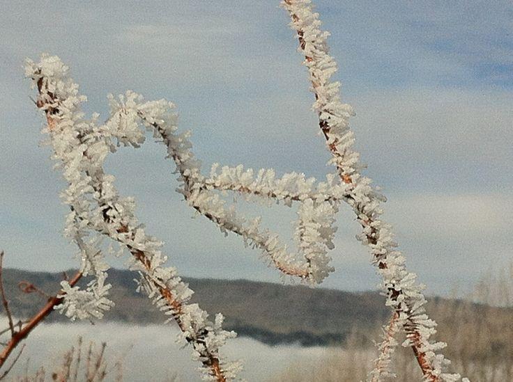 A very frosty vine.