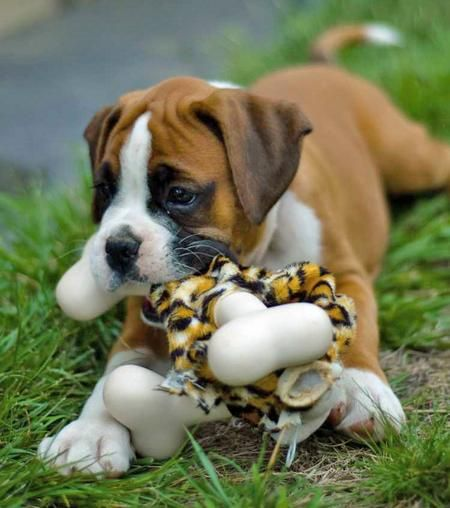 Cute Boxer Puppy Playing