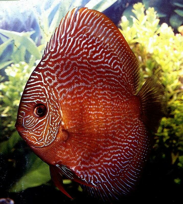 51 best images about discus domestic on pinterest for Best place to buy discus fish