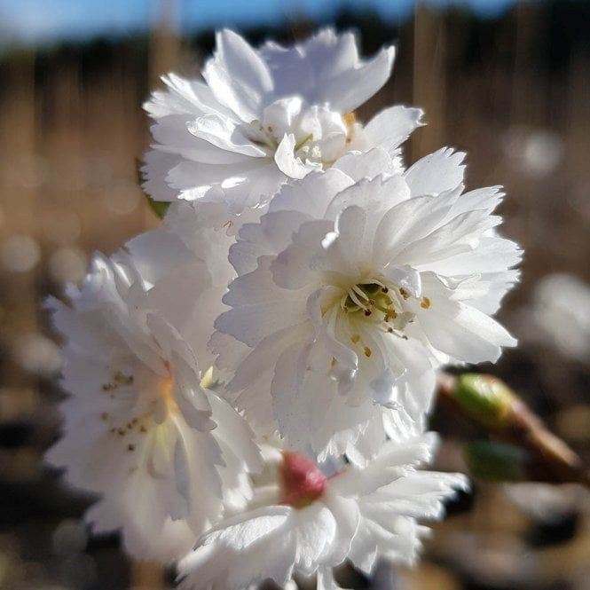 Prunus Kobuku Zakura Powder Puff Tree 1000 Flowering Cherry Tree Cherry Blossom Tree Blossom Trees