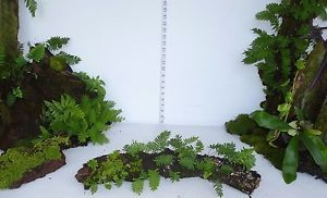 RESURRECTION FERN LOG Terrarium Live Plant Gecko Dart Frog VIVARIUM s1351