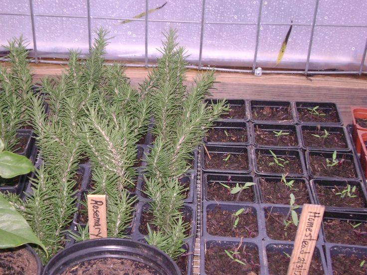 Scents of Rosemary Brings Meaning To Christmas | Natural Family Today