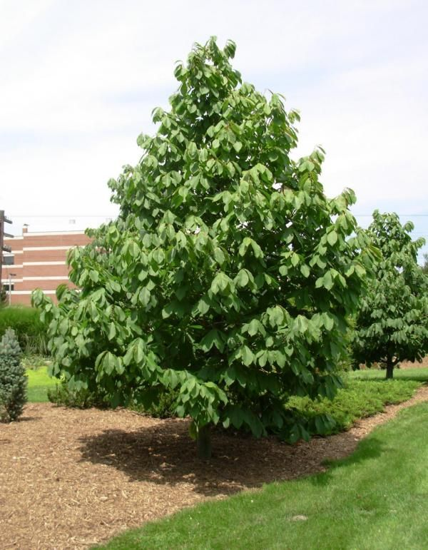 the pawpaw may not look awesome, but this east coast tree produces