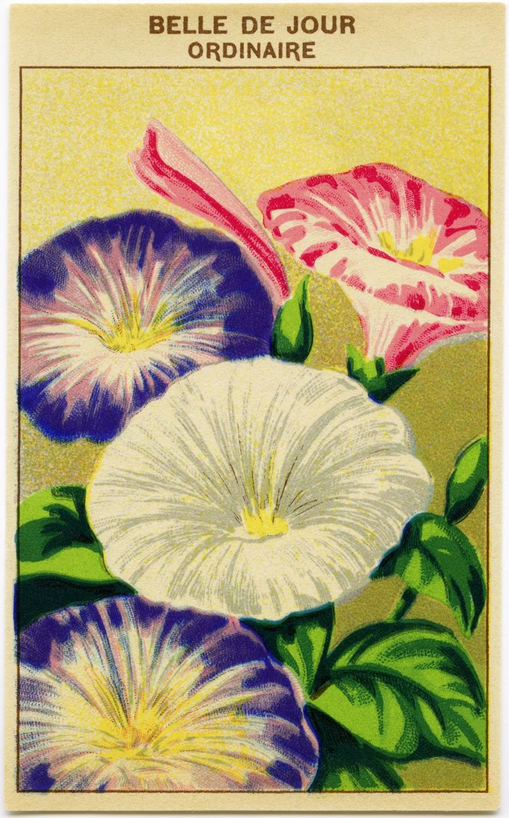 French Seed Packet, Old Fashioned Seed Package, Vintage Petunia Clip Art,  Antique Flower