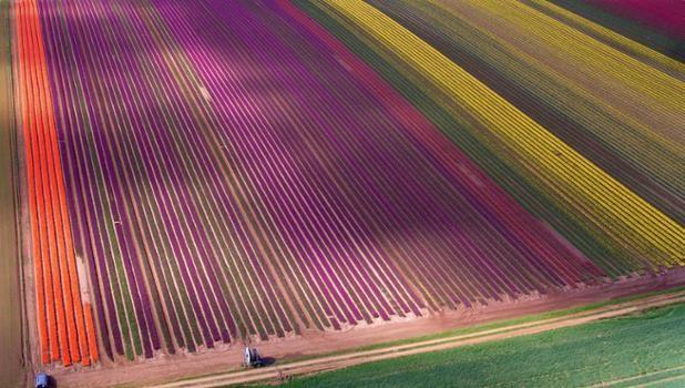 Campos de tulipanes cerca de la localidad de East Winch, Norfolk, Inglaterra (Steve Parsons, 2017)