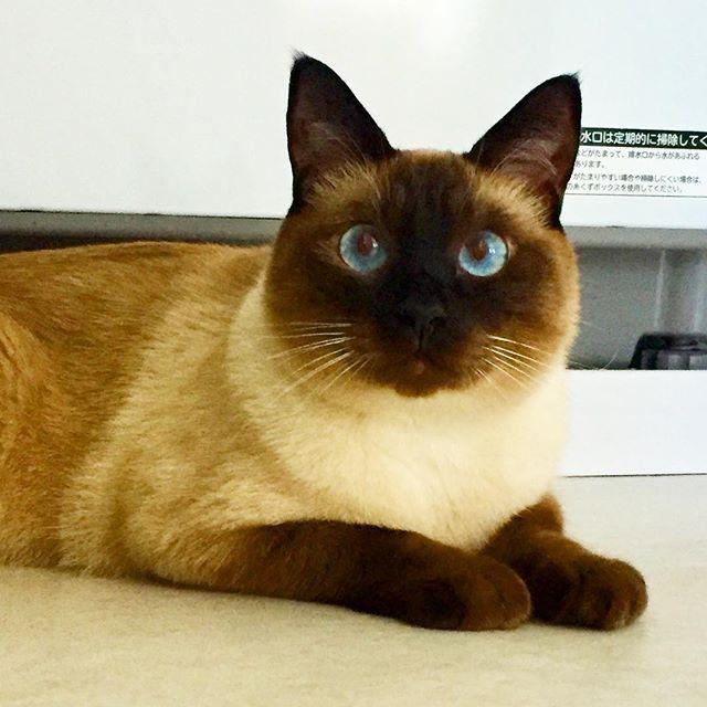 💩したくて朝四時に起こされた😪😽🎶✨ スッキリした顔しているねぇ… それは良かった(笑) #cat #猫#ネコ#ねこ#愛猫 #ラグドール#ロシアンブルー#mix #Ragdoll#Russian Blue #甘えん坊#抱っこ好き#ひょうきん#忍者猫 #イケニャン#ウンチ#💩#起こされる #二度寝できないタイプ #スッキリ