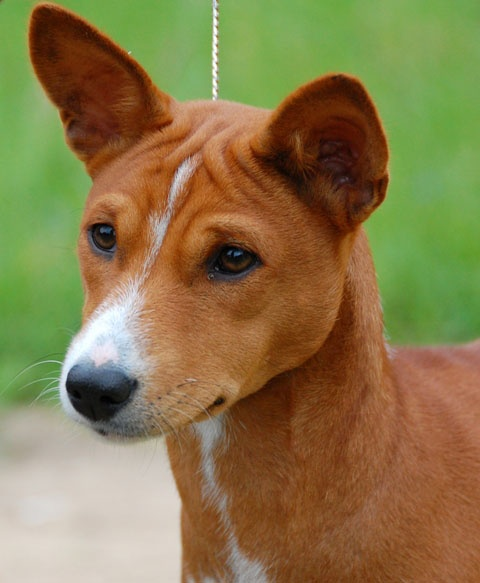 Basenji Basenji: Pinterest – pets