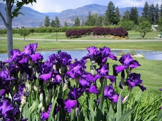 Irises - Golf Course in Kelowna -- Curated by: Ultimate Social Club | #4 1900 46th avenue | 2505494418
