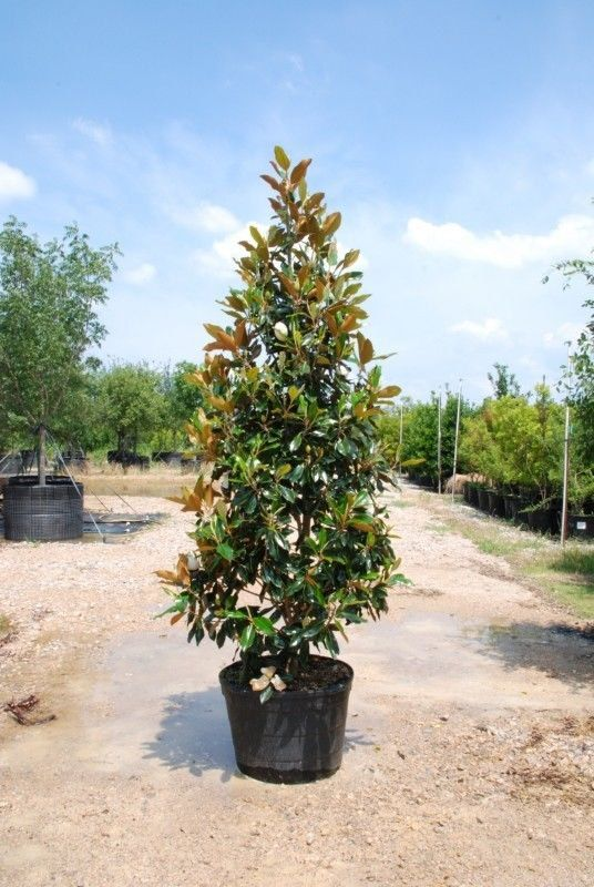 The Little Gem Magnolia Features Smaller Dark Green Foliage And Very Compact Narrow Form And