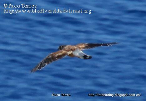 Nombre científico: Falco tinnunculus canariensis, Descripción: Cernícalo vulgar (Falco tinnunculus), observado en Madeira, Provincia/Distrito: Madeira, País: Portugal, Fecha: 17/08/2012, Autor/a: Paco Torres, Id: 27152