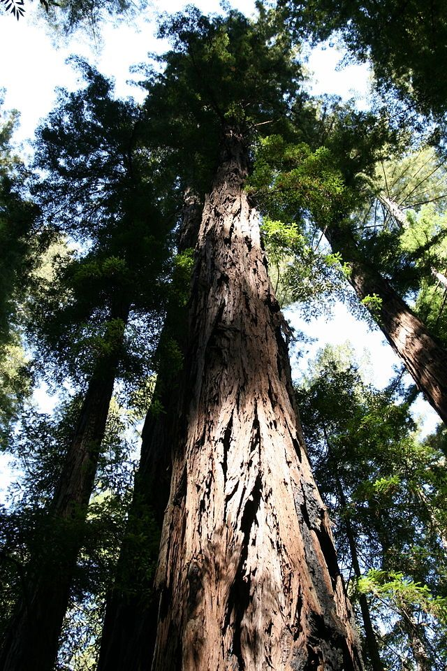 * Sequoia sempervirens *