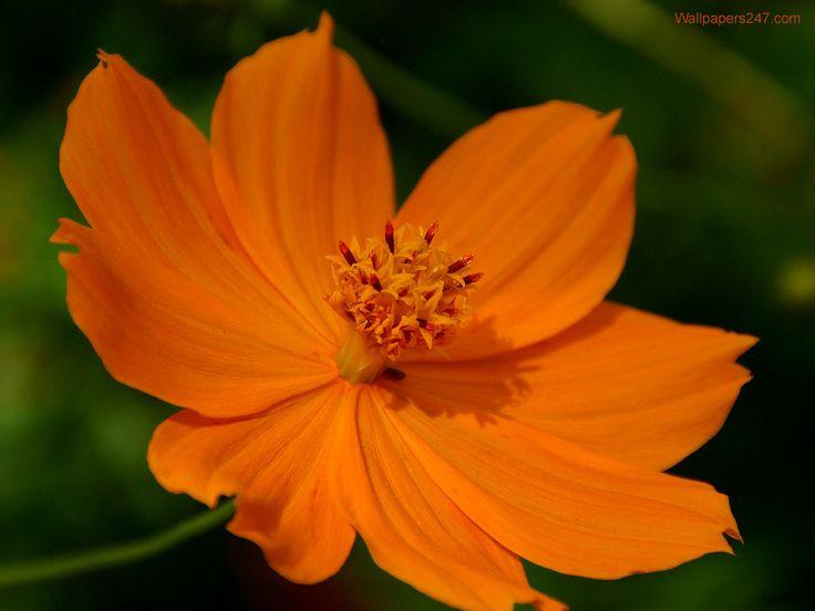 Orange Flower wallpaper | 1024x768 | #66523
