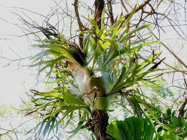 Staghorn fern attached to tree.  by carolinestreet