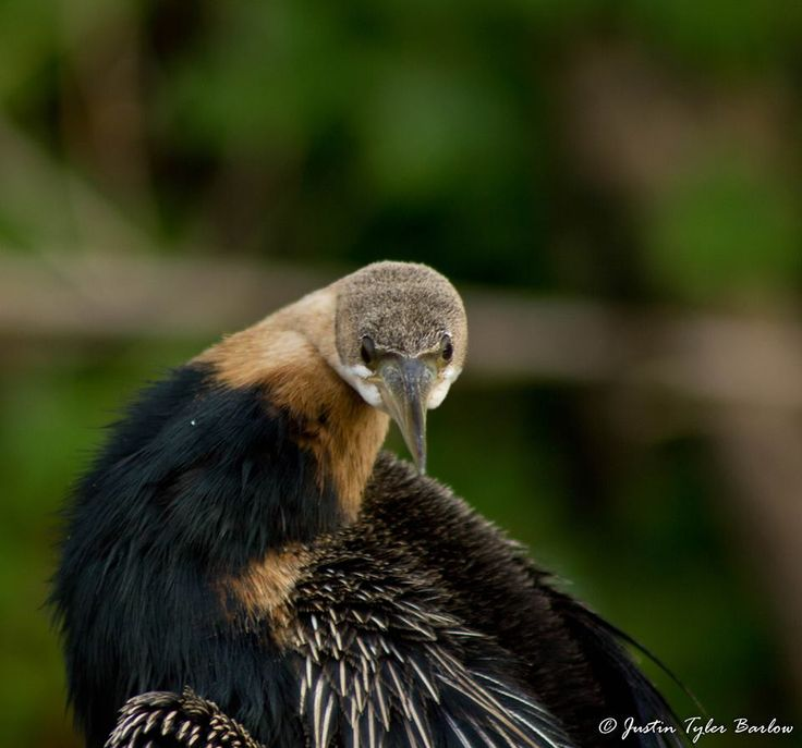 The African Darter. What a goofy looking guy.   { Photo by: Justin Tyler Barlow Photography } #Amakhala #AfricanSafari #SouthAfrica