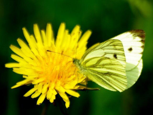 Grønåret Kålsommerfugl (Pieris napi) Vingefang: 37-48 mm. Vingeoversiderne er helt hvide, bortset fra forvingespidsen, som er sort. Desuden kan man på oversiden ane de tydelige grønne årer på undersiden, som har givet sommerfuglen sit navn. Levested: Ses overalt. Grønåret Kålsommerfugl er en af de almindeligste sommerfugle i Danmark. Flugten er rolig, selv når man skræmmer den. Larven lever på korsblomstrende planter som Løgkarse, Engkarse og Vejsennep, kun sjældent kål, som mange ellers…