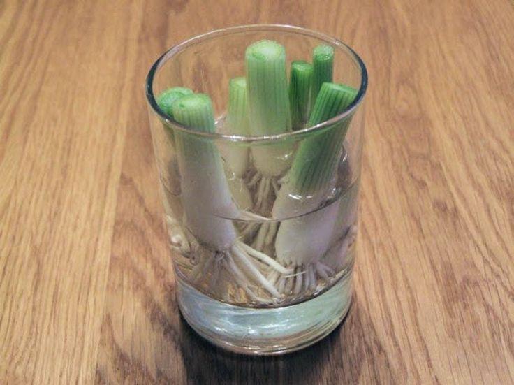 Frühlingszwiebeln-Scallions: Um sie wieder nachwachsen zu lassen, verwende ihre verworfene Wurzel. Lasse einen Inch/cm von der Frühlingszwiebel an der Wurzel und lege sie in ein Glas Wasser. Lass das Glas Wasser in einem Raum, der gut befeuchtet ist.