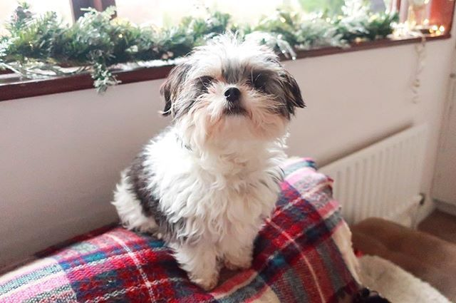 Now to finish decorating, with my fluffy little helper in tow. Had to snap this quick, she doesn't stay still for long!📸🐶🎄  #cavatzu #darcy #shihtzu #puppy #dog #pet #shabbychic  #rustic #winter #homedecor #christmas #festive #yule #december #xmas #holidayseason #country #countrylife #ireland #galway