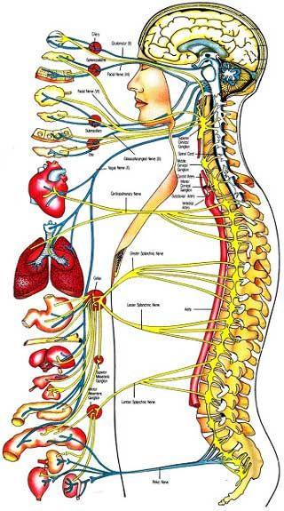 The Human Body System diagram