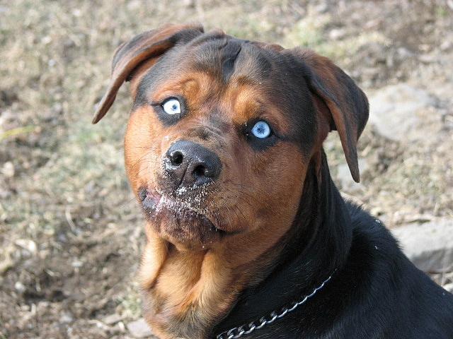 SCARY!!!! | Rottweilers | Pinterest | Rottweilers, Scary and Blue