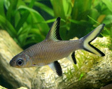 Bala Shark, (Balantiocheilus melanopterus) Species Profile, Bala Shark, (Balantiocheilus melanopterus) Care Instructions, Bala Shark, (Balantiocheilus melanopterus) Feeding and more.  ::  Aquarium Domain.com