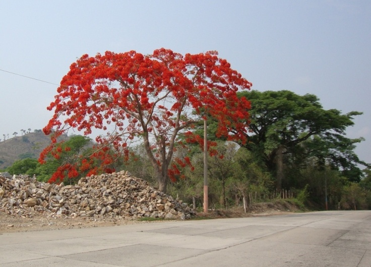 Árbol de Fuego, Metapan, Santa Ana, El Salvador