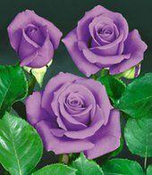Blaue Rose 'Blue Saphir'