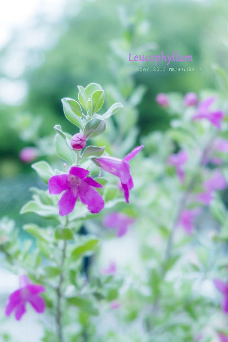 道のりを記憶に残して: 銀白色の葉っぱも可愛い、レウコ・フィルム/花・ガーデニング