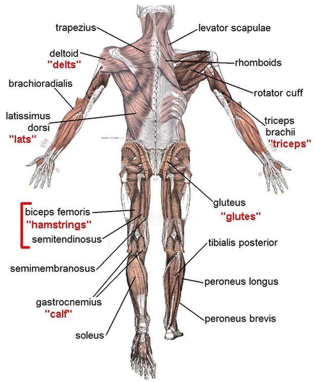 Estrutura muscular de um nadador