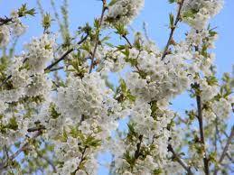 Imagini pentru flori de cires