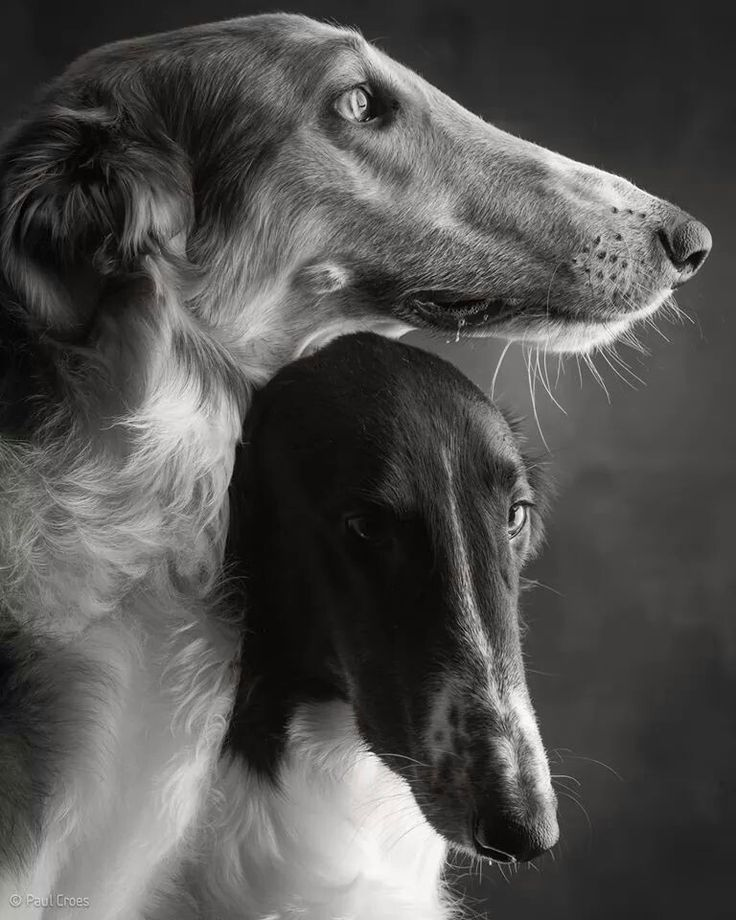 Borzoi. One of the most beautiful dogs