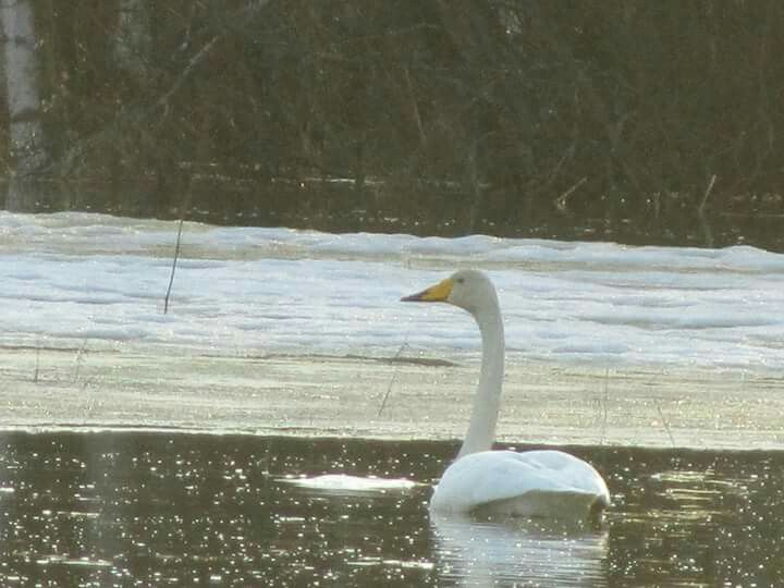 Swan swimming in the flood water near my home.