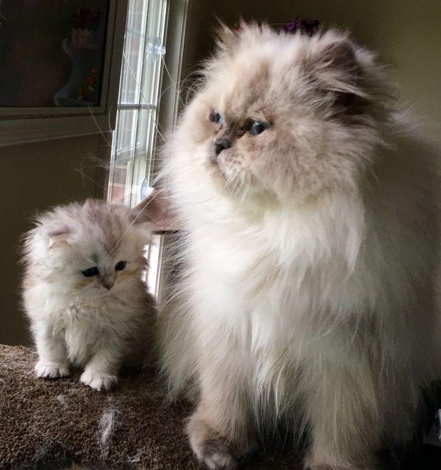 Queen Tesla Persian Kittens Persian Kittens For Sale Teacup Persian Kittens
