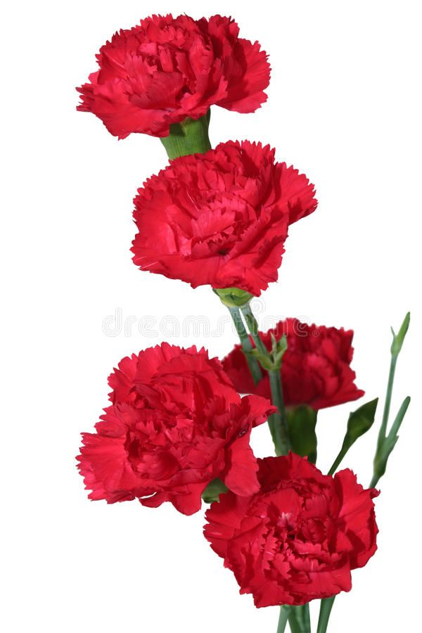 Red Carnation Flowers Isolated On White Background Affiliate Flowers Carnation Red Background White Ad In 2020 Red Carnation Carnation Flower Carnations