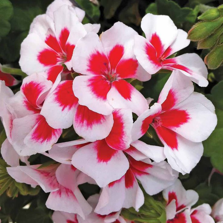 Geranium 'Americana White Splash' - You can never go wrong with a geranium in a sunny spot. they always deliver a bold colour statement.
