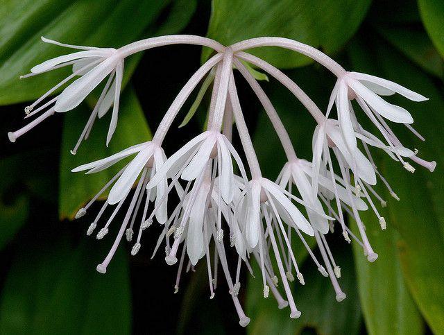 Heloniopsis acutifolia #2 | Flickr - Photo Sharing!