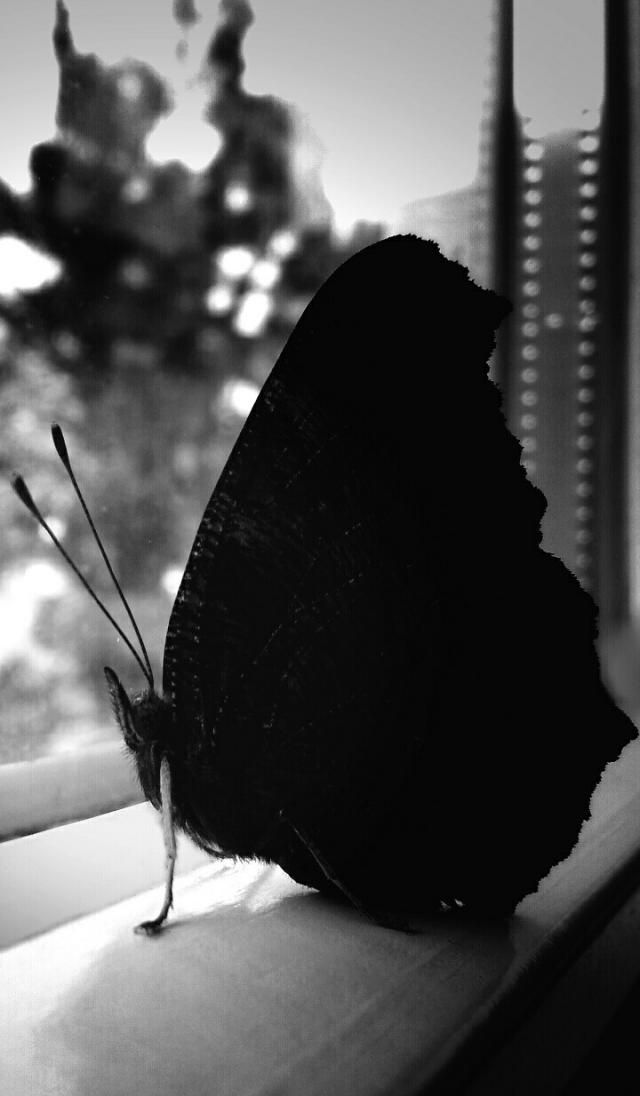 black and white photography butterfly pictures