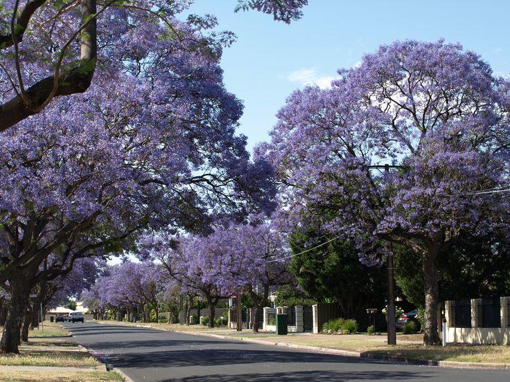 November is Jacaranda time in Adelaide -