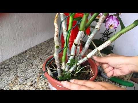 Cuidados com Orquídea Denphal - YouTube