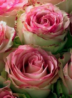 Crown Majesty roses....love some of these in my own garden.