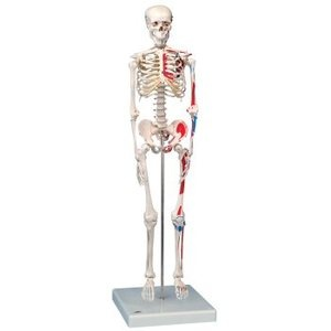 $272 - Mini Human Skeleton Anatomy Model With Painted Muscles, Pelvic Mounted