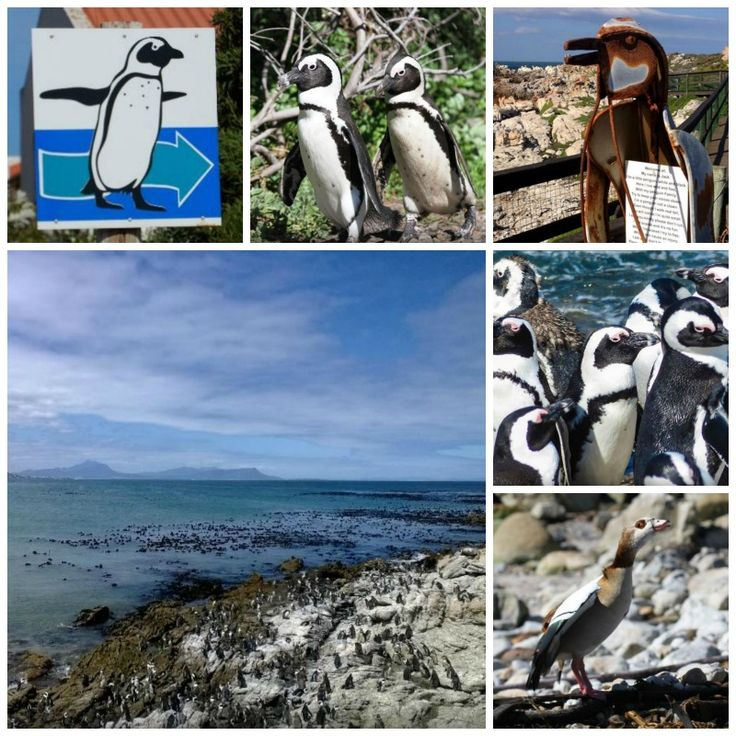 Stony Point Penguin Colony - Betty's Bay Address: Stony Point, 2663 Clarence Drive, Betty's Bay. Tel: :028 271 5657 Times: 9:00 am to 17:00 pm daily Price: R 10 p/p