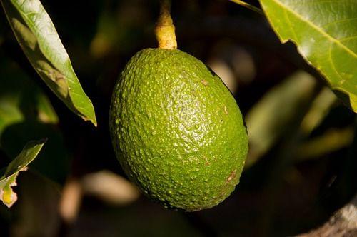 hass_avocado