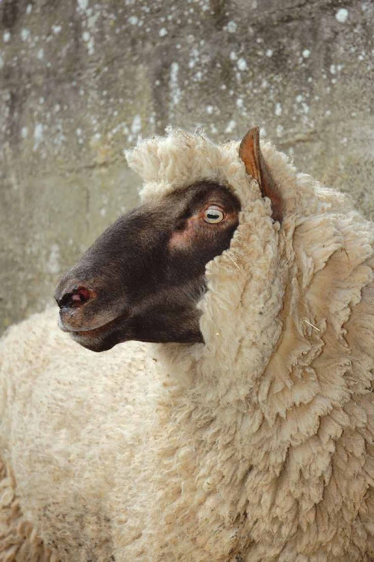 1181 best i wooly love sheep images on pinterest sheep animals
