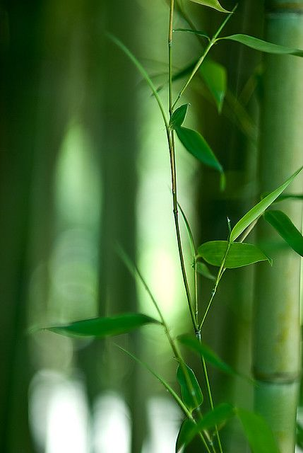 Bamboo gives a soft, green, glow to everything within it's surroundings.