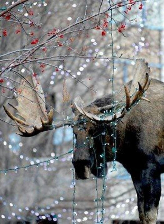This moose just looks super romantic.  Look at those glorious lights.