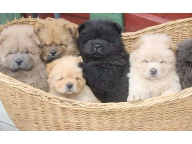 listing vv AKC Reg Males and Females Chinese Cho... is published on Free Classifieds USA online Ads - http://free-classifieds-usa.com/for-sale/animals/vv-akc-reg-males-and-females-chinese-chow-chow-puppies-for-sale-now_i32114